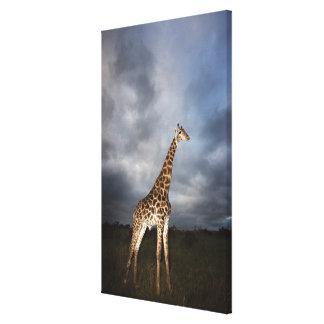 Giraffe (Giraffa camelopardalis) in dramatic Canvas Print