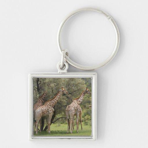 Giraffe, Giraffa camelopardalis, Kgalagadi 2 Silver-Colored Square Keychain