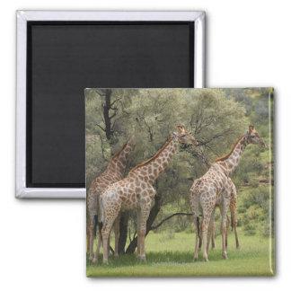 Giraffe, Giraffa camelopardalis, Kgalagadi 2 Magnet
