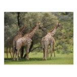 Giraffe, Giraffa camelopardalis, Kgalagadi 2 Postcard