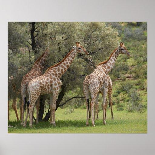 Giraffe, Giraffa camelopardalis, Kgalagadi 2 Poster