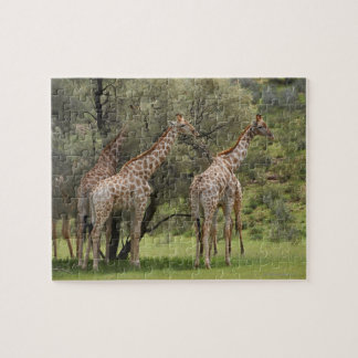 Giraffe, Giraffa camelopardalis, Kgalagadi 2 Puzzle