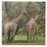 Giraffe, Giraffa camelopardalis, Kgalagadi 2 Large Square Tile