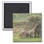 Giraffe, Giraffa camelopardalis, Kgalagadi 3 2 Inch Square Magnet