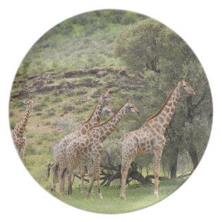 Giraffe, Giraffa camelopardalis, Kgalagadi 3 Melamine Plate