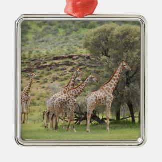 Giraffe, Giraffa camelopardalis, Kgalagadi 3 Metal Ornament