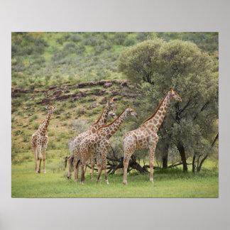Giraffe, Giraffa camelopardalis, Kgalagadi 3 Poster