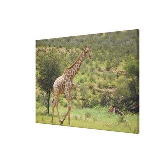 Giraffe, Giraffa camelopardalis, Kgalagadi Canvas Print