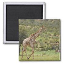 Giraffe, Giraffa camelopardalis, Kgalagadi Magnet