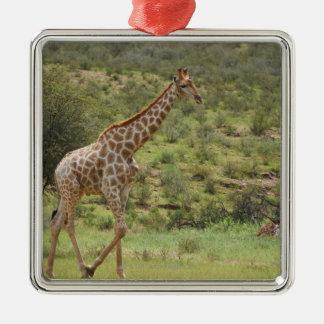 Giraffe, Giraffa camelopardalis, Kgalagadi Metal Ornament