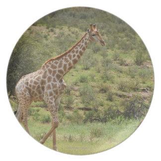 Giraffe, Giraffa camelopardalis, Kgalagadi Plate