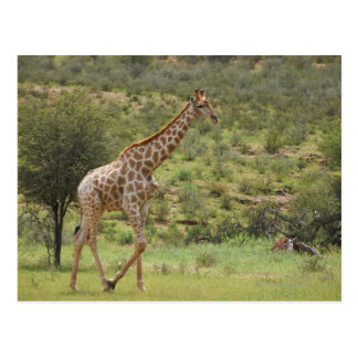 Giraffe, Giraffa camelopardalis, Kgalagadi Postcard