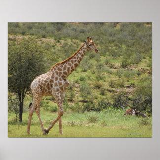 Giraffe, Giraffa camelopardalis, Kgalagadi Poster