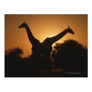 Giraffe (Giraffa camelopardalis) Pair Postcard