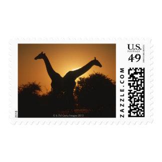 Giraffe (Giraffa camelopardalis) Pair Stamps
