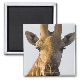 Giraffe (Giraffa camelopardalis) portrait Magnet