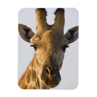 Giraffe (Giraffa camelopardalis) portrait Flexible Magnets
