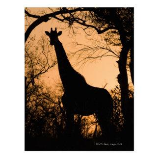 Giraffe (Giraffa camelopardalis) silhouette Postcard