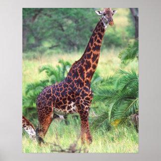 Giraffe, Giraffa camelopardalis, Tanzania Africa 2 Poster