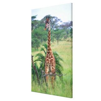 Giraffe, Giraffa camelopardalis, Tanzania Africa Canvas Print
