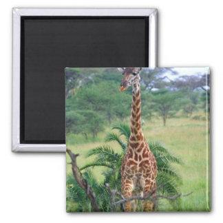 Giraffe Giraffa camelopardalis Tanzania Africa Refrigerator Magnets
