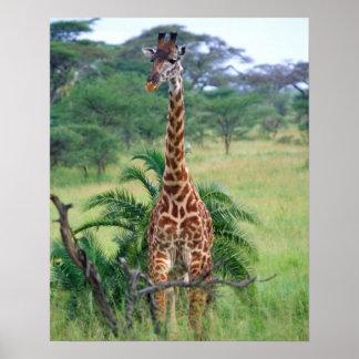 Giraffe, Giraffa camelopardalis, Tanzania Africa Poster