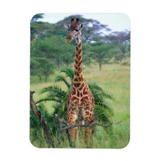 Giraffe Giraffa camelopardalis Tanzania Africa Flexible Magnet