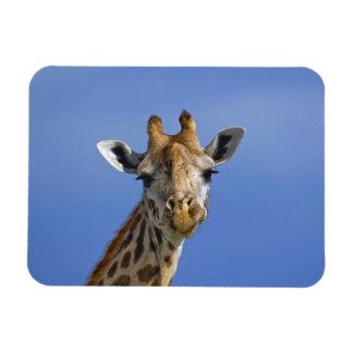 Giraffe, Giraffa camelopardalis tippelskirchi, Magnet