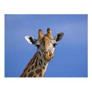 Giraffe, Giraffa camelopardalis tippelskirchi, Postcard