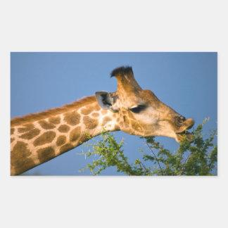 Giraffe (Giraffe Camelopardalis) Feeding Rectangular Sticker