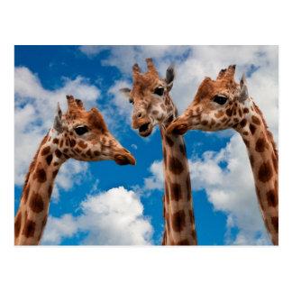 Giraffe Gossip Girls Postcard