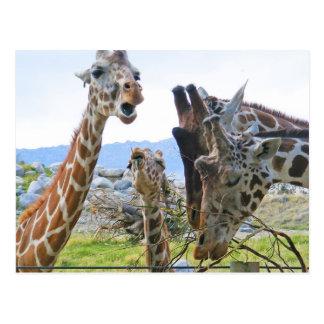 Giraffe Gossip Postcard