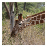 Giraffe Grazing Poster