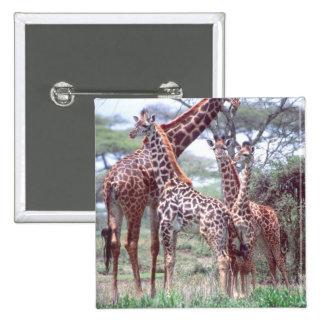Giraffe Group or Herd w/ Young, Giraffa Pinback Button
