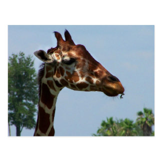 Giraffe head against blue sky photograph picture postcard