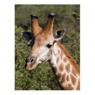 Giraffe Head Detail Postcard
