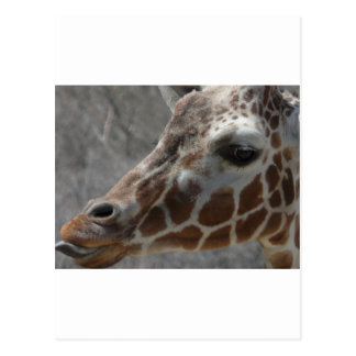 giraffe head postcard