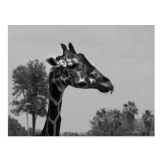 Giraffe head with plants and sky photograph postcard
