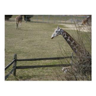 Giraffe hiding in the trees postcard