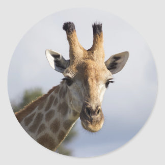 Giraffe in Botswana, Africa, Sticker