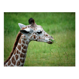 Giraffe in the Rain Postcard