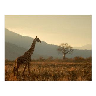 Giraffe in the Savannah Postcard