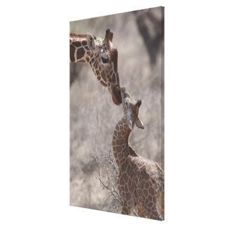 Giraffe, Kenya, Africa Canvas Print