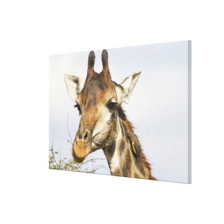 Giraffe, Kruger National Park, South Africa Canvas Print