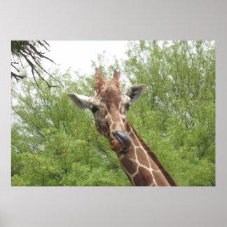 Giraffe Licking Its Nose Poster