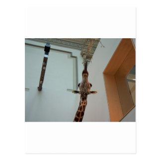 Giraffe, luckier than Marius; model 1 Postcard