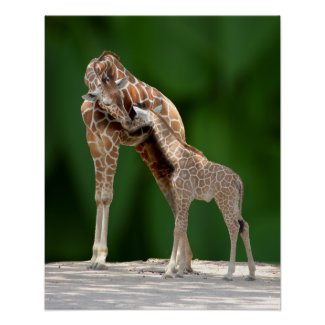 cute Giraffe Mom and her Baby giving a nuzzling hug of love Poster print