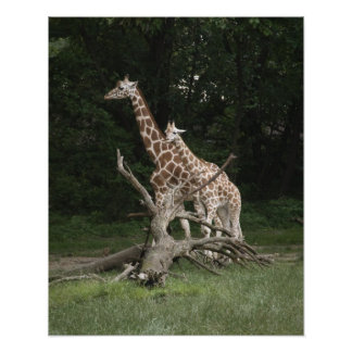Giraffe Mother and Calf Photo Print