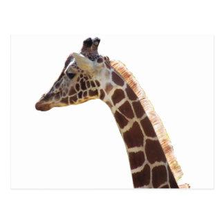 Giraffe Neck and Head Postcard