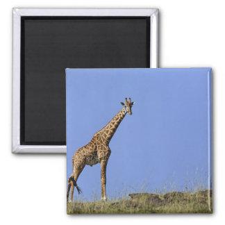 Giraffe on ridge against blue sky Giraffa Fridge Magnets